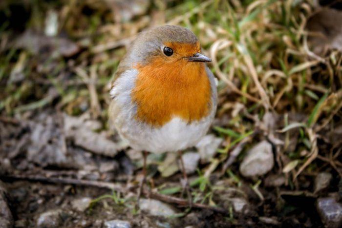 A closeup photo of a Robin