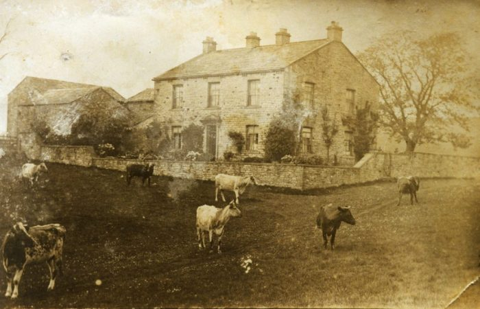 Yorescott dairy shorthorns c1906 (collection of Ann Holubecki)