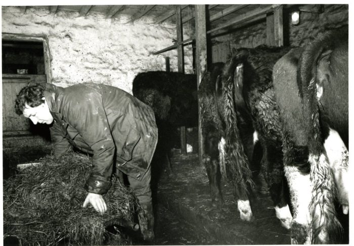 Foddering cows in a field barn. Unknown date. Collection Dales Countryside Museum