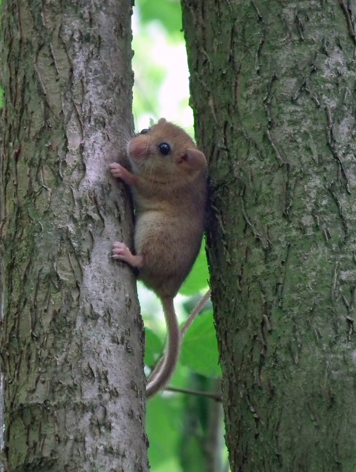 Dormouse up a tree