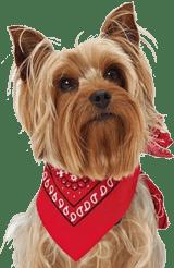 yorkshire terrier orejas arriba
