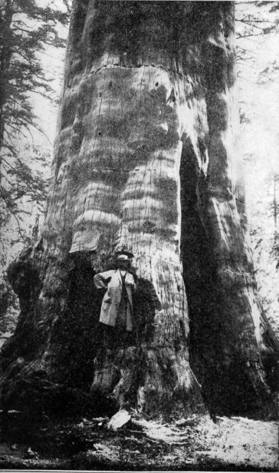 Mother of the Forest, Yosemite ( with bark removed for 1860 Paris Exposition)