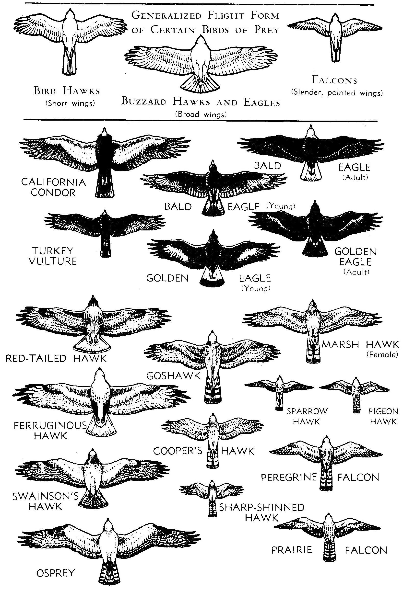 Birds Of Yosemite National Park Hawk Like
