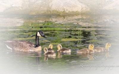 Bob Groos: Goslings of Bird Poop Rock