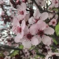 サクラ | バルボア・パーク開花報告 (3/23/2019)