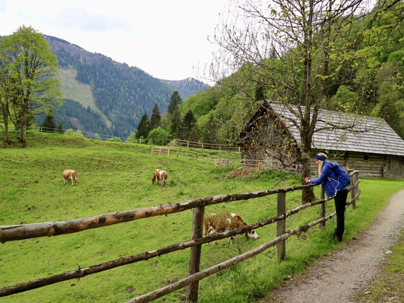 hiking cow alm