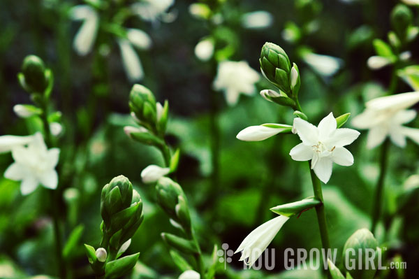 You grow girl white hosta flowers white hosta flowers 2 comments photo by gayla trail all rights reserved mightylinksfo