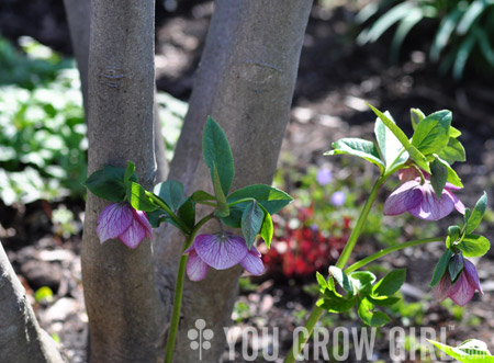 You Grow Girl Hellebore Huh Lessons From The Hellebore Whisperer