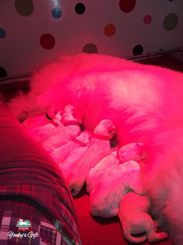 cuccioli pastore svizzero bianco cucciolata E Derin bikila fine parto insieme