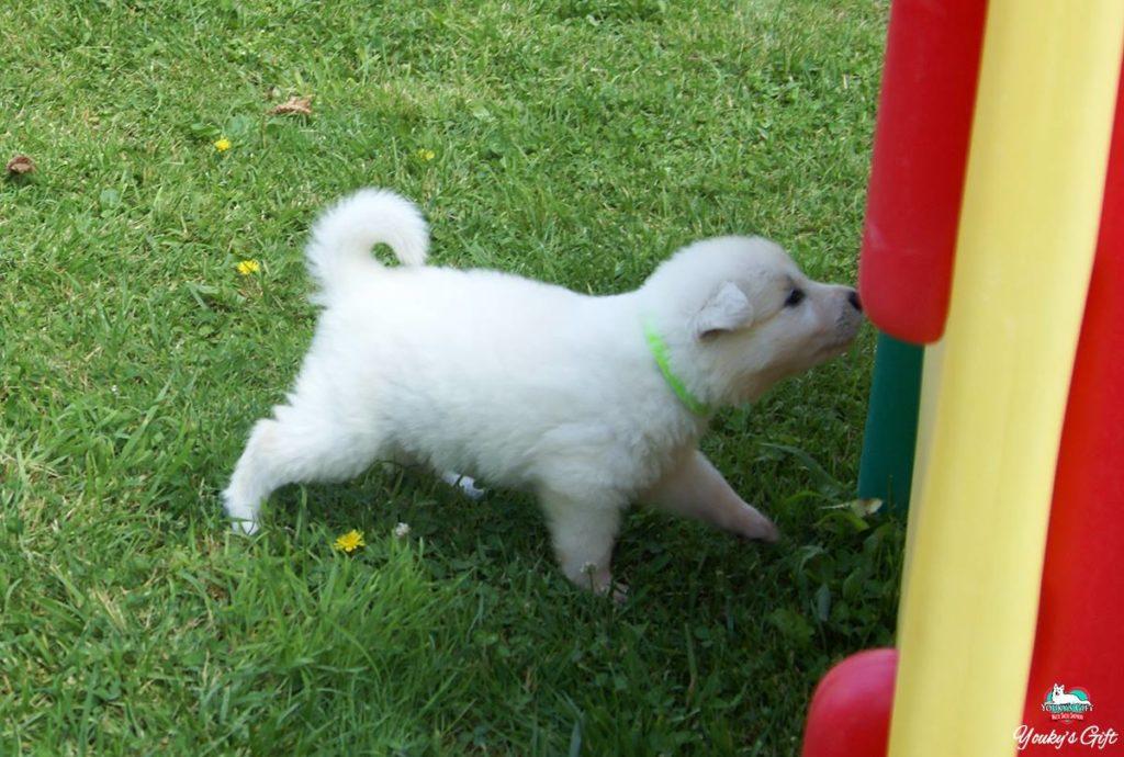 cuccioli pastore svizzero youky's gift cucciolata E prima uscita