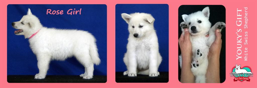 cuccioli pastore svizzero youky's gift cucciolata E foto 45 giorni