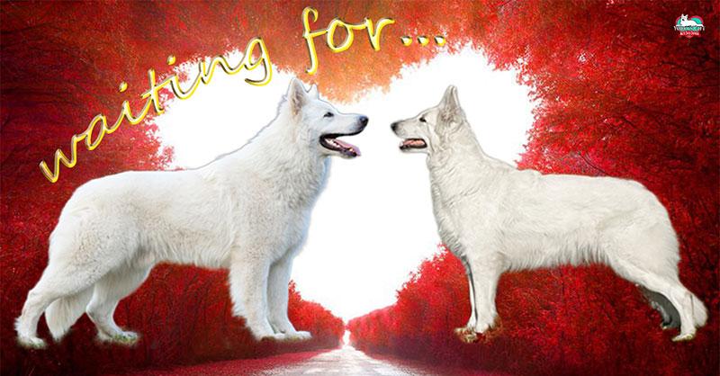 missione-compiuta cuccioli pastore svizzero Youky's Gift