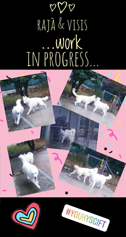 rajà-visis-work-in-progress cuccioli pastore svizzero cucciolata I