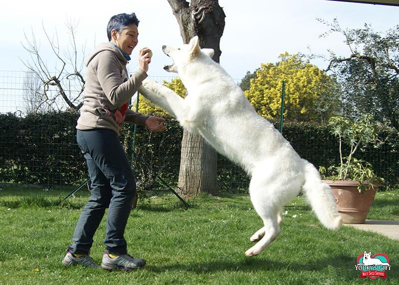 temperamento 01 doti caratteriali pastore svizzero bianco cuccioli youky's gift