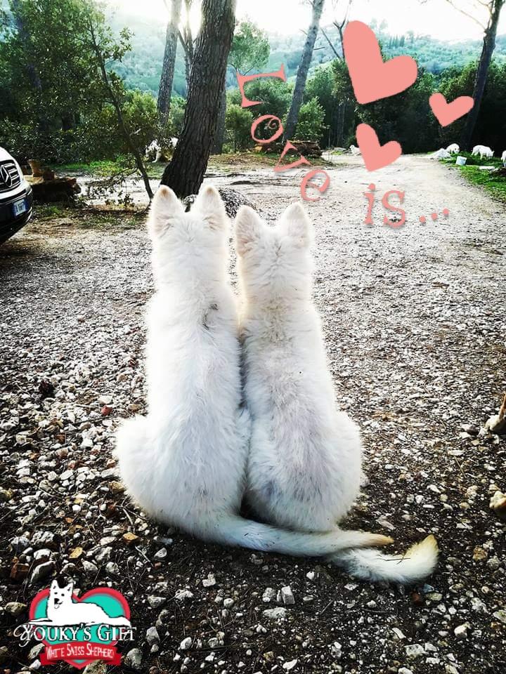 dolceacqua 04 allevamento cuccioli pastore svizzero Youky's Gift