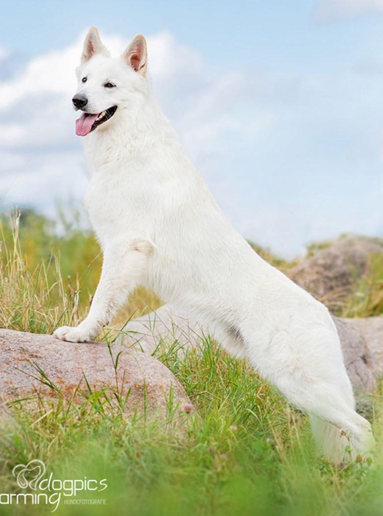 king abas vom weissen birkenstolz stone cuccioli allevamento pastore svizzero Youky's Gift