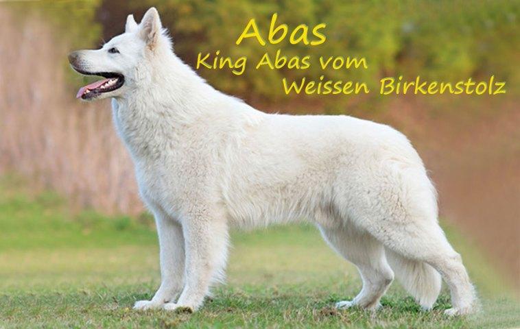 king-abas-vom-weissen-birkenstolz