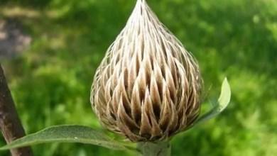 Photo of Leuzea kłącze (legenda syberyjskiej siły i odporności), roślina życia.
