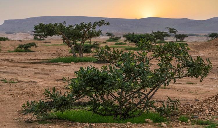 阿拉伯乳香農場與蒸餾廠 — 阿曼馬斯喀特