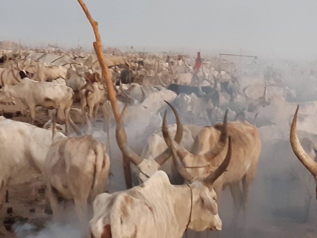 south sudan cattle