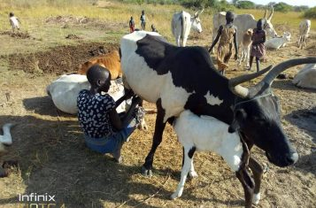 south sudan cow