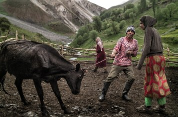 Yaghnobi tribespeople handling a cow.