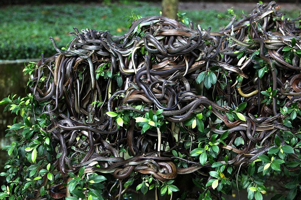 Worst islands: hundreds of snakes writhe on a bush on Ilha de Queimada, Brazil