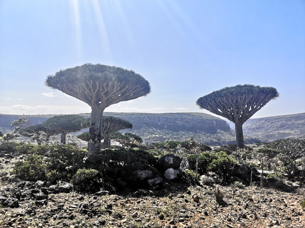 The biggest dragonblood tree forest in Socotra