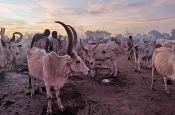A full mundari cattle camp