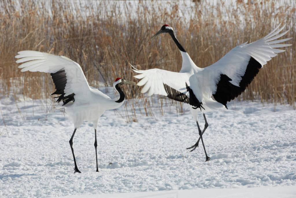 Cranes spotted while birding in North Korea