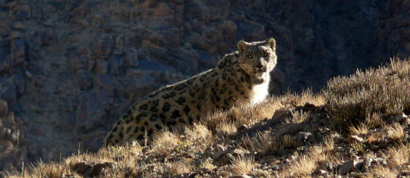 A snow leopard stares at the camera in the rocky slopes of the Gobi.