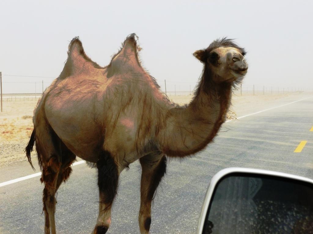 Wild Bactrian camel in the Gobi desert