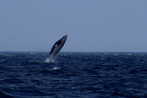 A Minke whale swimming is one of the many animals in Antarctica