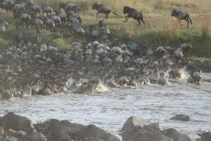7 Wildebeest migration 300x200 100 Things to do in Kenya