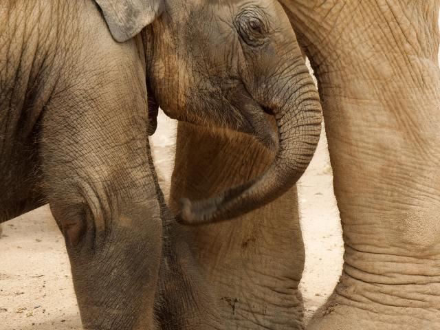 Memoir - baby elephant leaning against adult elephant