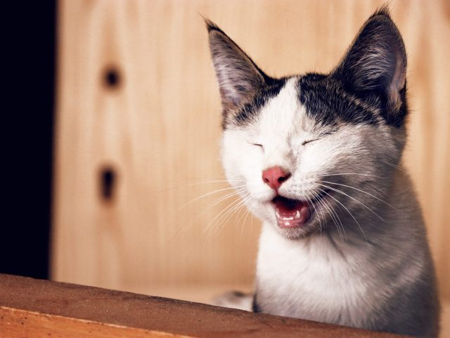 Humor - white cat with black ears, eyes closed, mouth open as if laughing