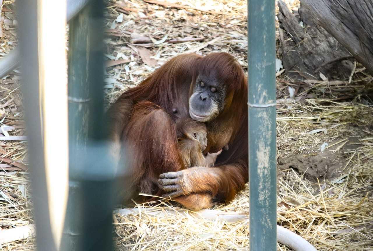 11-20 baby orangutan at chaffee zoo_1542763789898.jpg.jpg