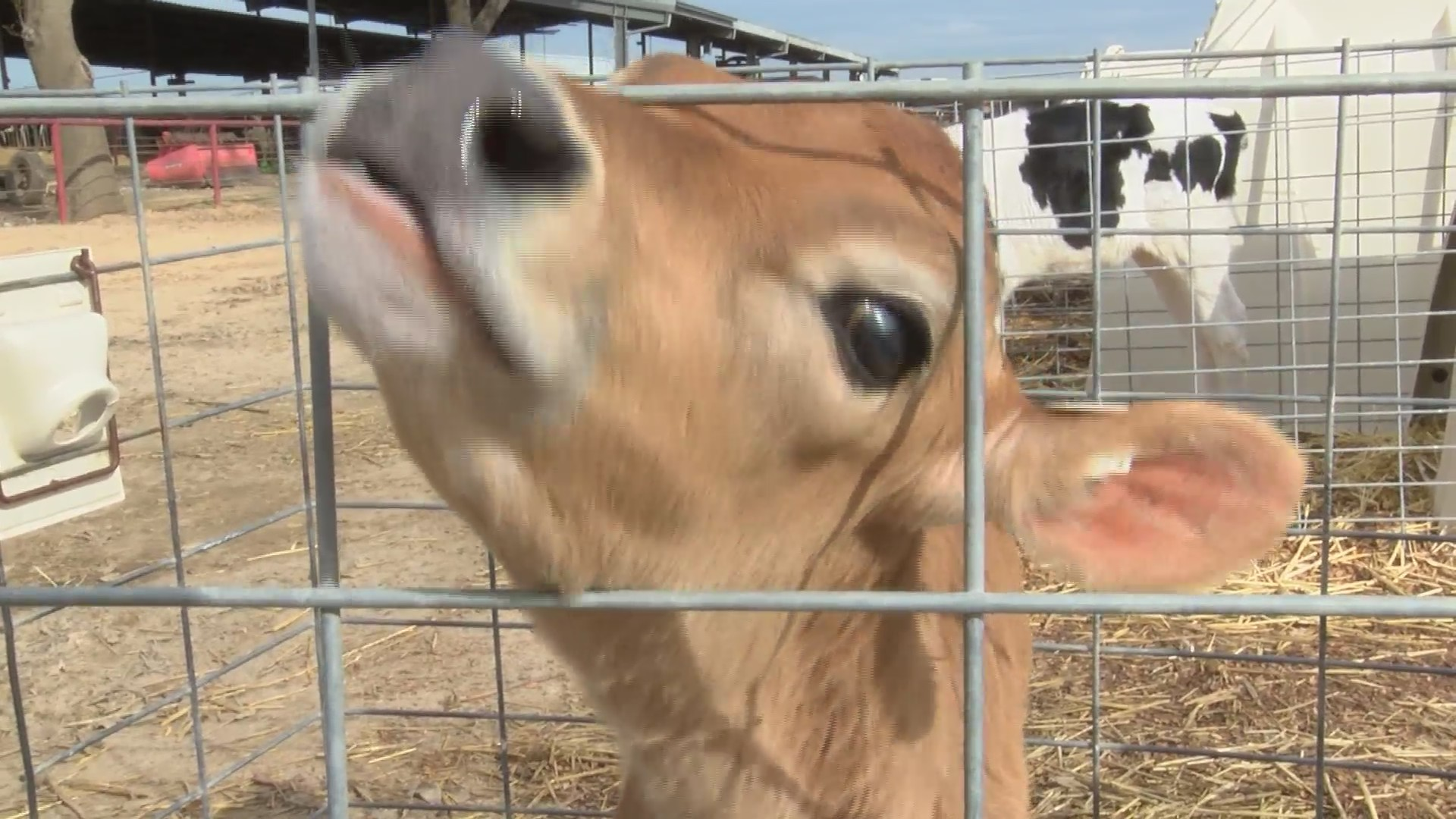 """""""Dating app"""" launches for cows"""