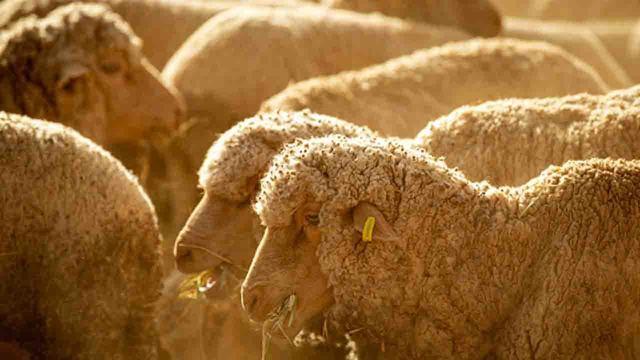 sheep_1553936718463_79782564_ver1.0_640_360_1554002861526.jpg