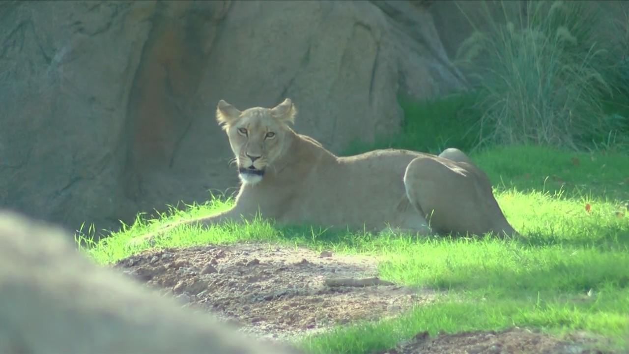 Man_bit_by_lion_at_Fresno_Chaffee_Zoo_0_20180920180725