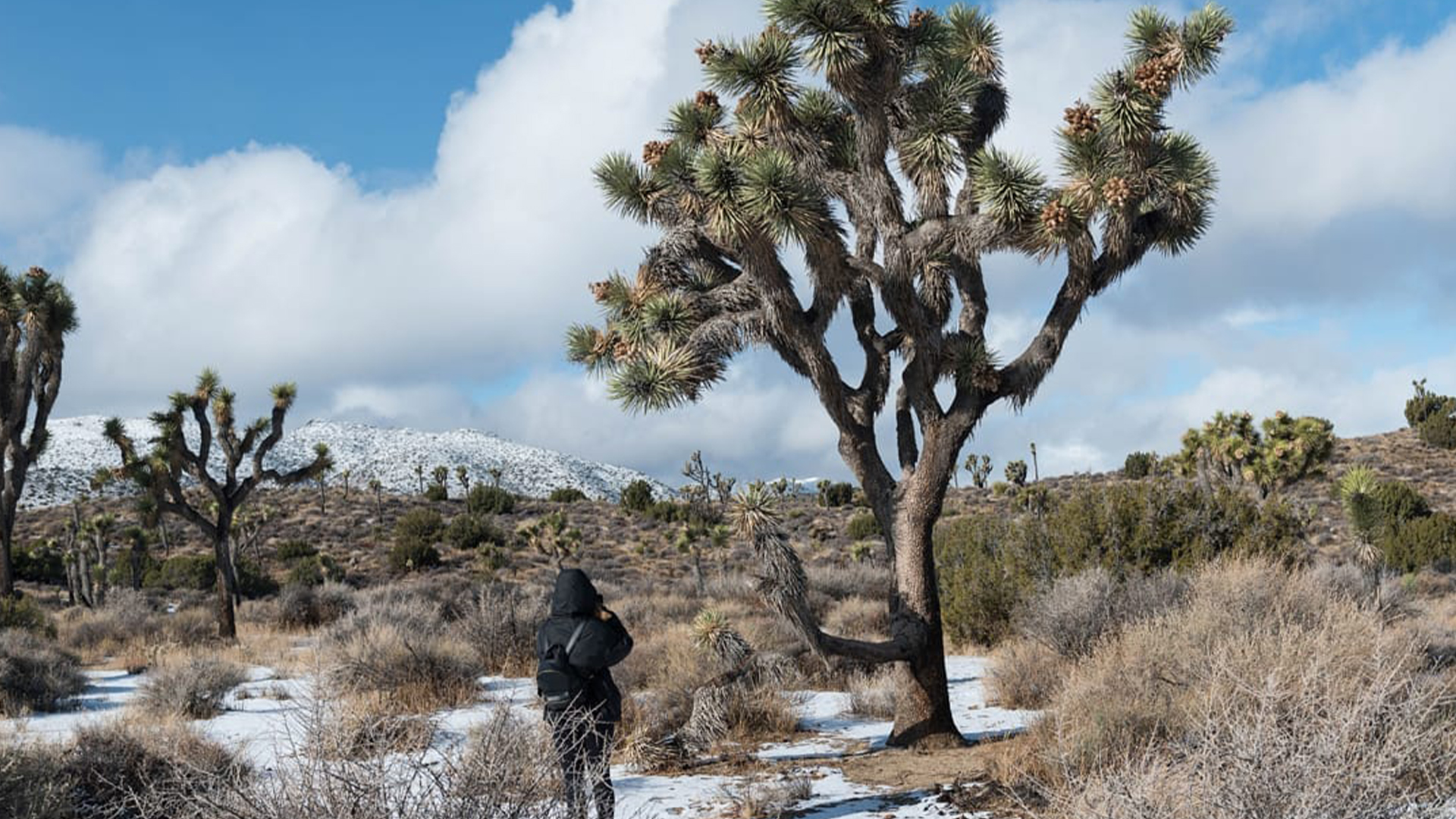 Photo of snow-covered Joshua trees