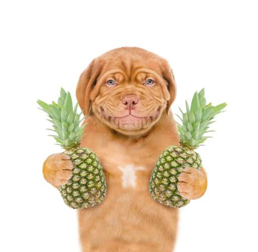 Smiling puppy with pineapples. isolated on white background.