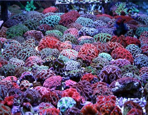 Acan Brain Coral