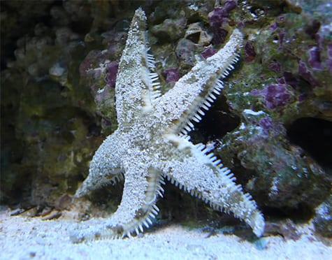 sand-sifting-starfish