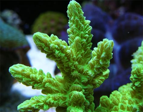 Horn Coral