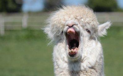 Shut up, Alpaca