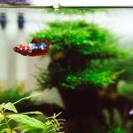betta fish as pets