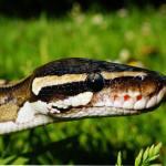 Best Snake Breeds For Beginners