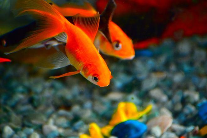 beautiful goldfish swimming