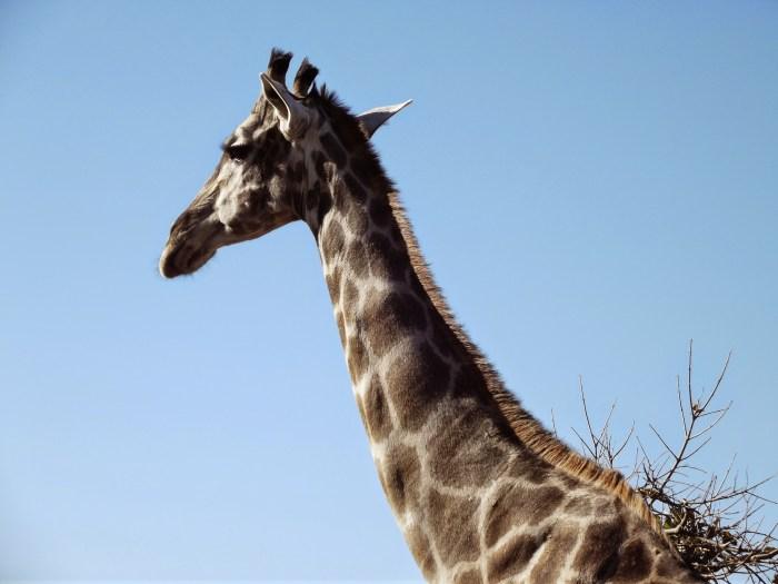 Giraffe chobe botswana
